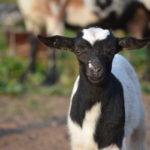 Seven Freedoms Farm Steiger